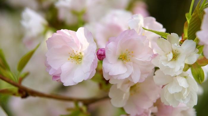 sakura, flowers, petals, branch, macro
