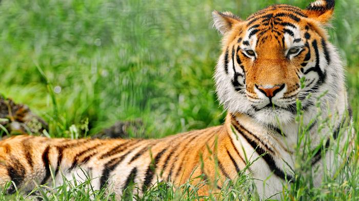 animals, tiger, rest, grass
