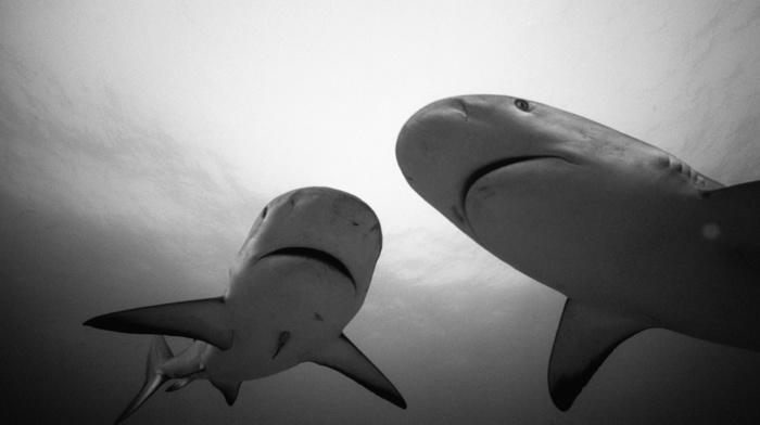 shark, animals