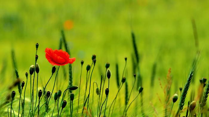 poppies, nature, flowers, field, greenery