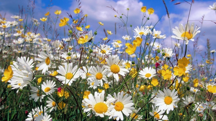 clouds, summer, chamomile, flowers, nature