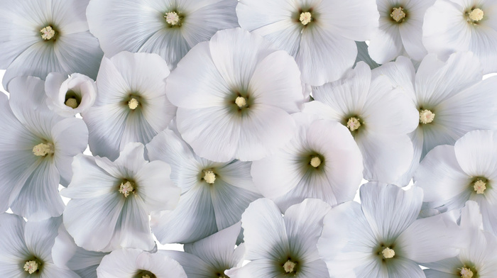 background, white flowers, flowers