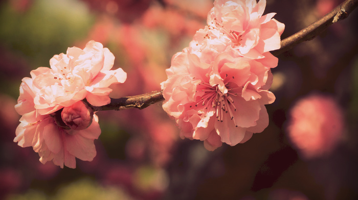 bloom, flowers, petals, macro, sakura, branch