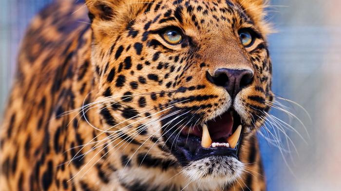muzzle, wallpaper, leopard, animals