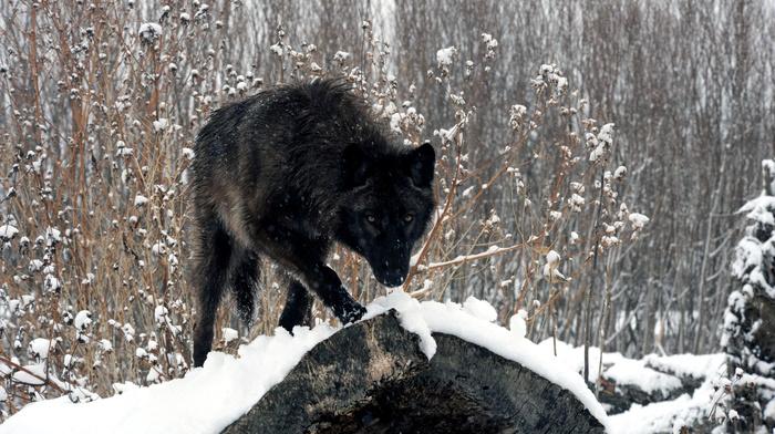 sight, wolf, snow, winter, animals, forest