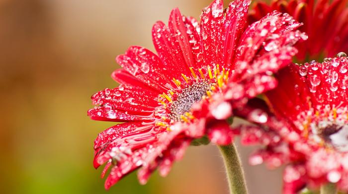 red, macro, drops, flower, windows