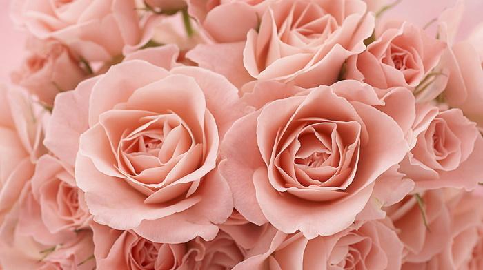 macro, roses, flowers, petals