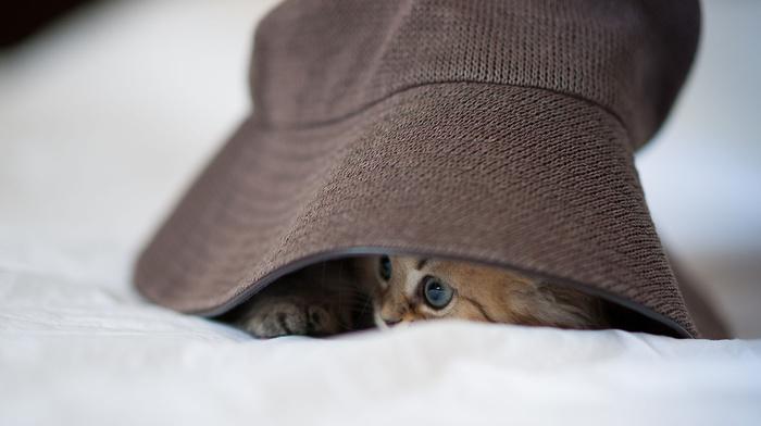 hat, animals, kitten