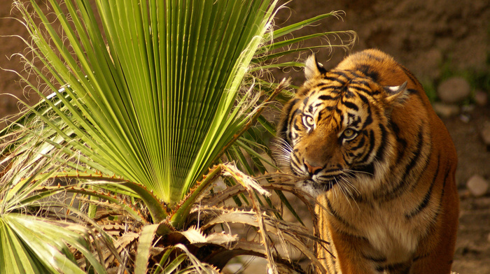 leaves, sit, tiger, animals, grass, eyes