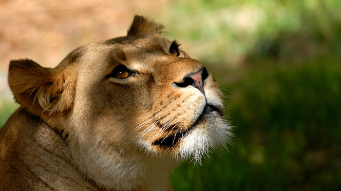 animals, muzzle, lion, wallpaper, background, mustache, sight