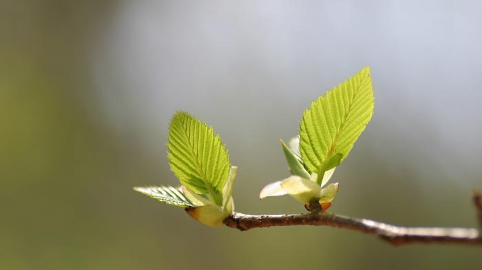 branch, leaves, spring, greenery, macro, tree