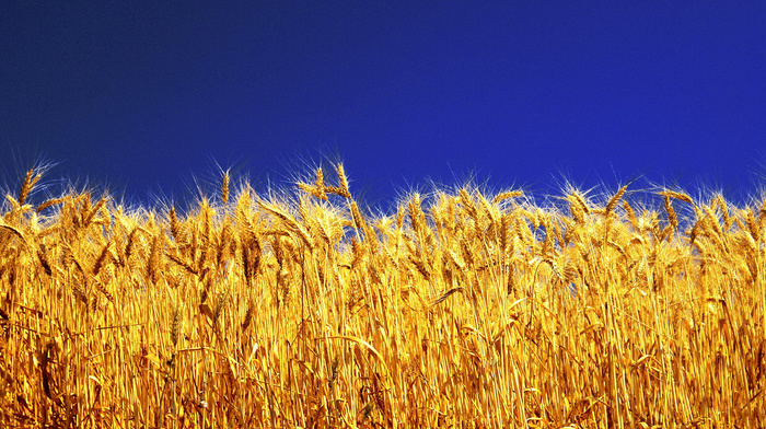 Ukraine, sky, wheat, stunner
