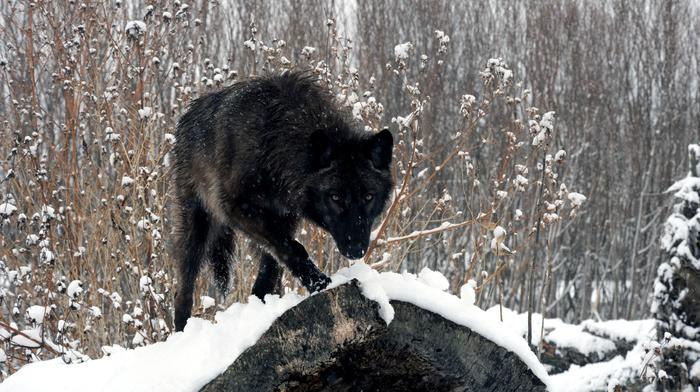 winter, snow, sight, wolf, forest, animals