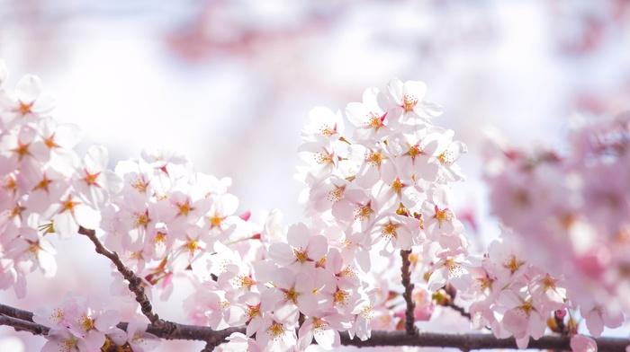 spring, sakura, twigs, petals, flowers, sky, Sun