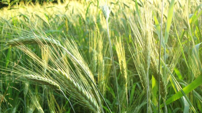 nature, wheat