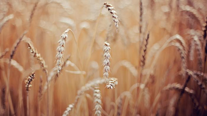 wheat, macro