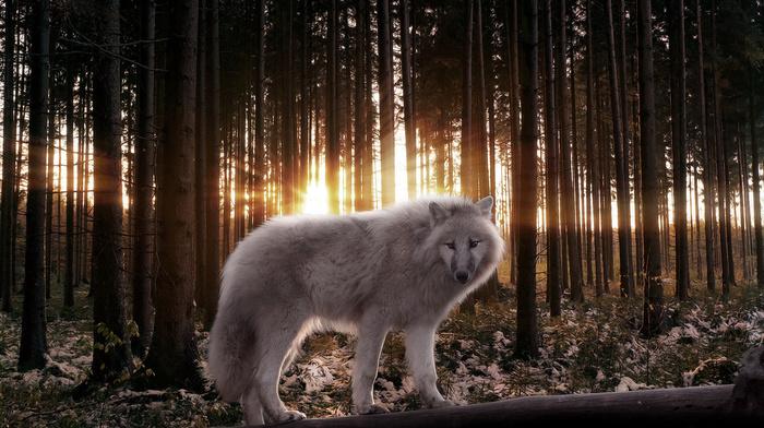 trees, stunner, predator, rays, forest, wolf, light