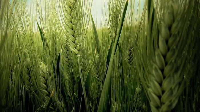 wheat, nature
