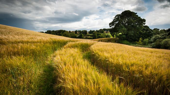 clouds, summer, field, wheat, nature, sky