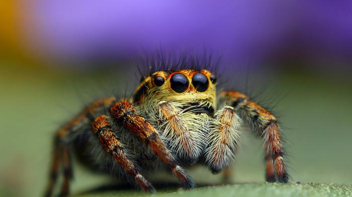 background, macro, animals, spider