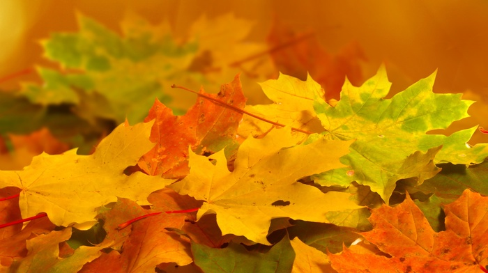 nature, macro, autumn, leaves