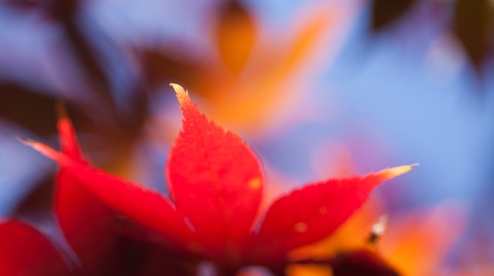 orange, macro, leaf, autumn