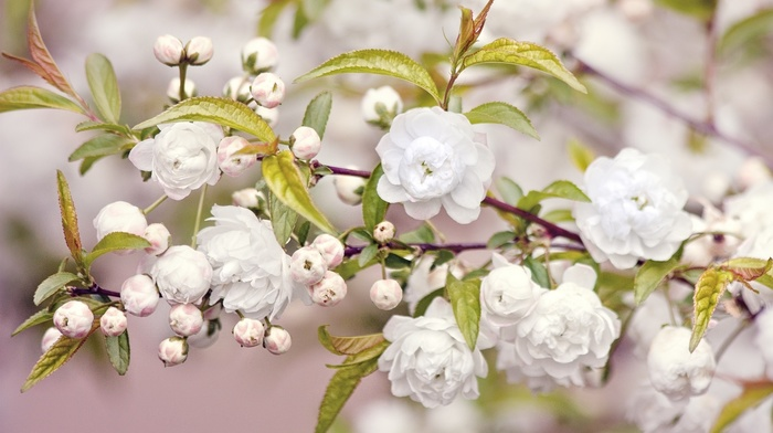 nature, bloom, branch, flowers, leaves, spring