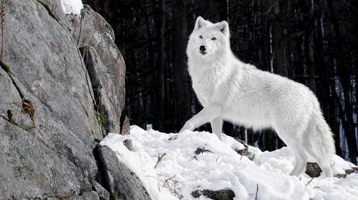 winter, animals, snow, white, wolf, forest, predator, stones