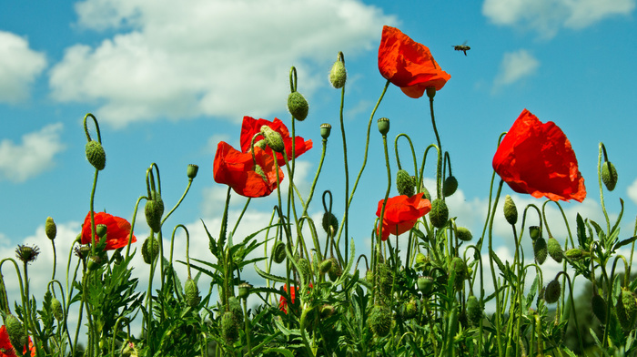 poppies, grassland, field, sky, nature, clouds, grass