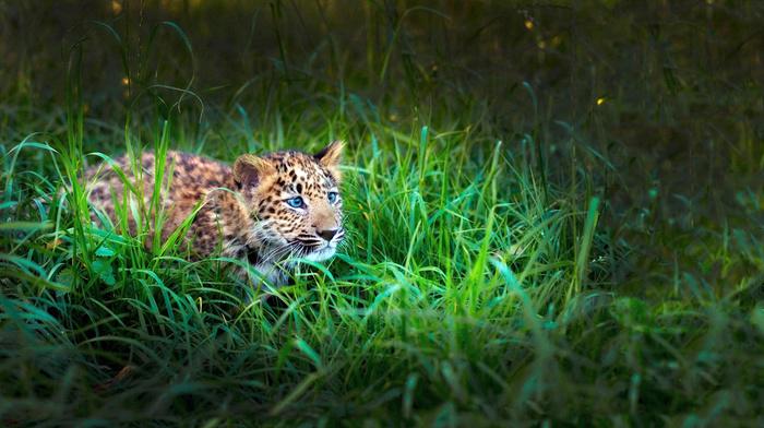 tiger, sight, animals, kid, leopard, grass