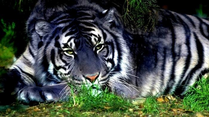 white, tiger, grass, animals