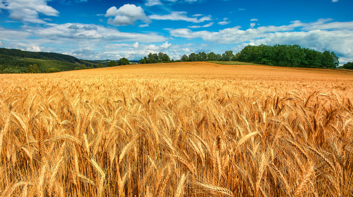 nature, wheat, forest, clouds, field, sky, trees
