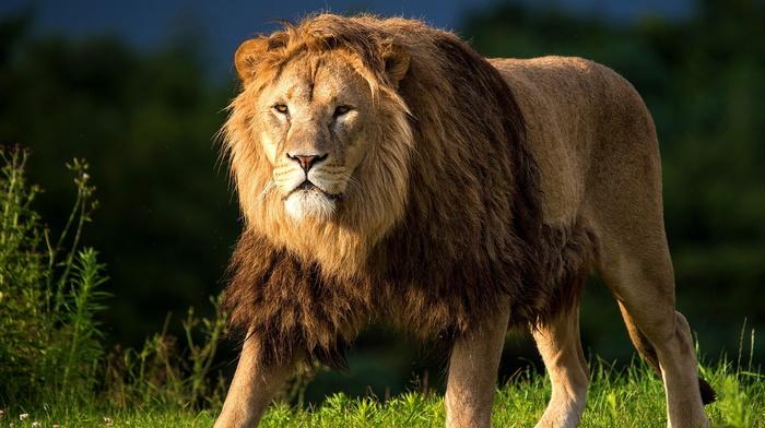 grass, predator, grassland, animals, lion, sight