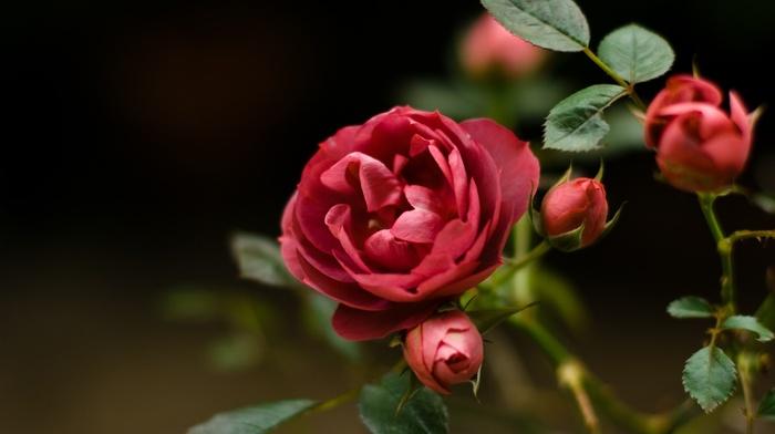rose, plants, flowers