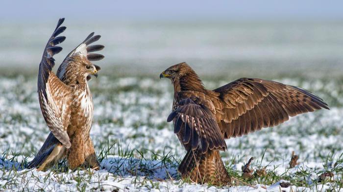 field, wings, birds, animals, grass