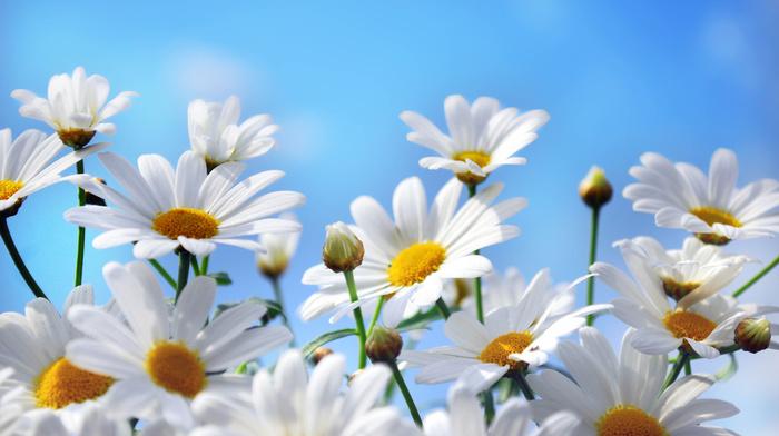 chamomile, flowers, simple