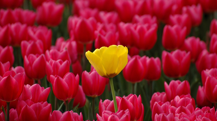 red, tulips, flowers, yellow