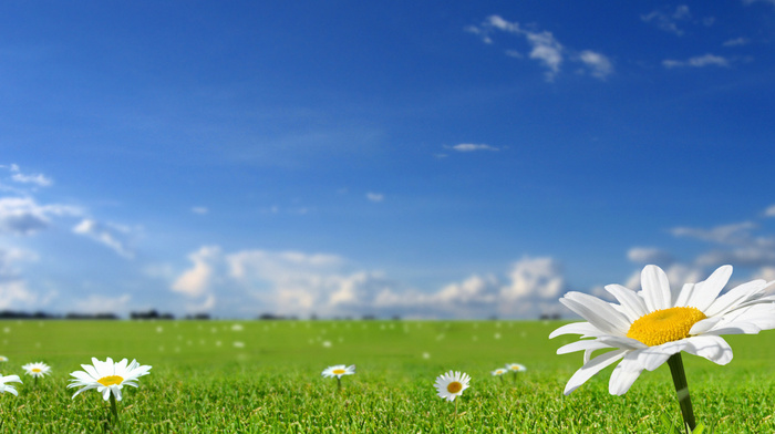 sky, chamomile, stunner, grass