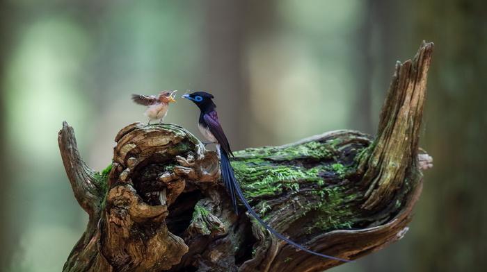 beauty, stunner, wings, greenery, tail, bird, feathers