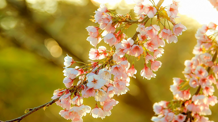 sakura, nature, spring, light, flowers