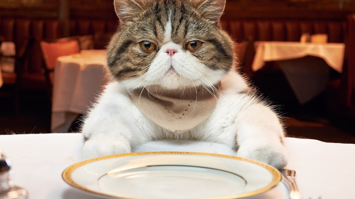 table, plate, animals, cat