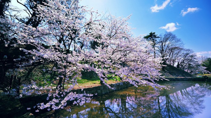 sky, clouds, park, pond, sakura, spring, trees, color
