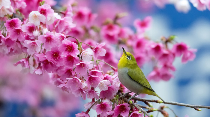 stunner, flowers, cherry, spring, bird, sakura, bloom