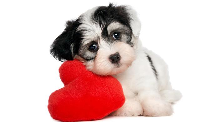 animals, dog, puppy, kid, white background, heart