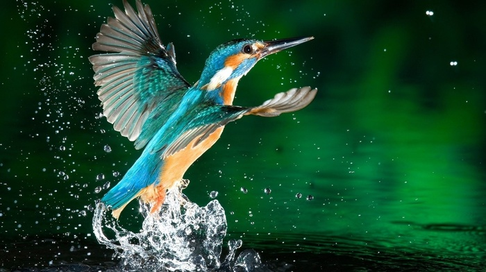 drops, water, wings, stunner, bird, feathers, beauty, splash