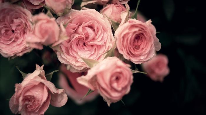 roses, drops, petals, flowers, bouquet