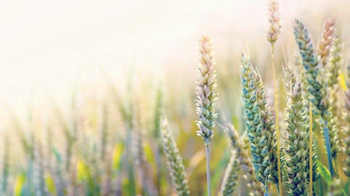 stunner, paints, macro, wheat, field