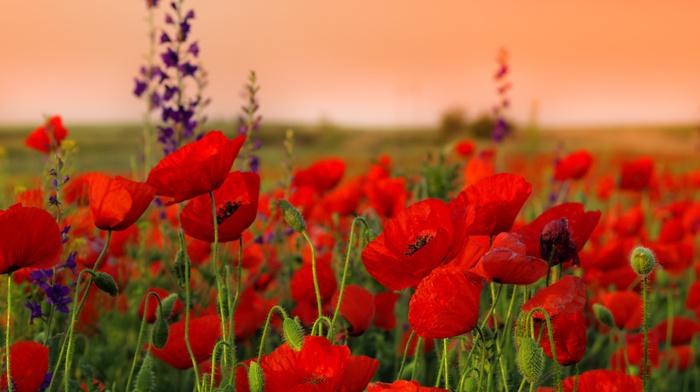 field, photo, sunset, flowers, sky, poppies, nature, macro