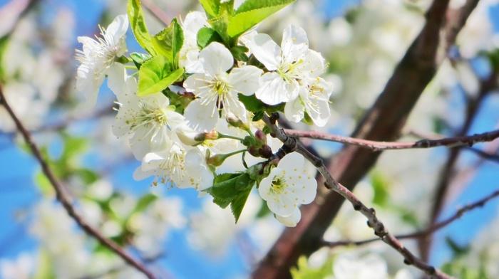 white, cherry, beautiful, flower, Sun, spring, sunset, flowers, petals, greenery