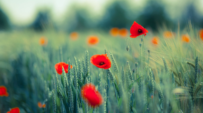 nature, macro, field, poppies, flowers, photo